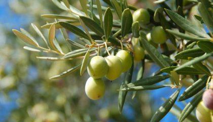 Крымские татары выращивали маслины